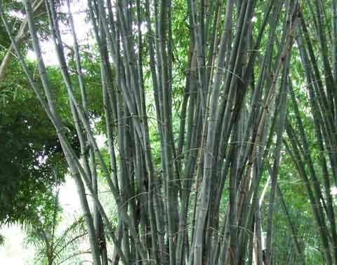 Calcutta Bamboo