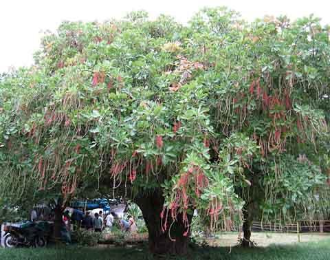 Freshwater Mangrove