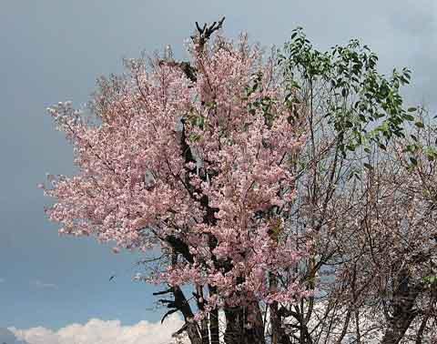 Himalayan Cherry