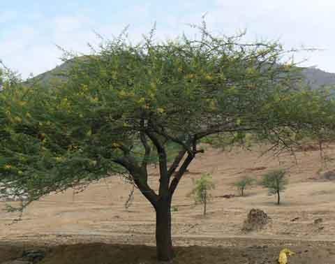 Kumtha