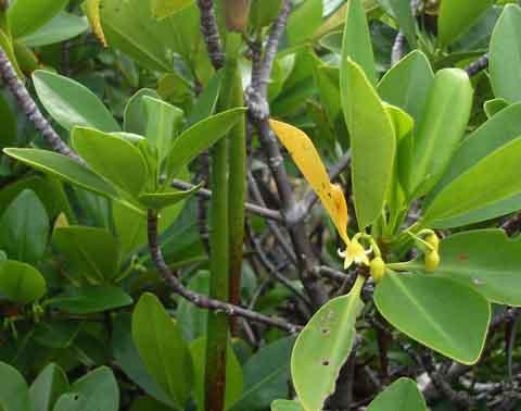 Loop-root Mangrove