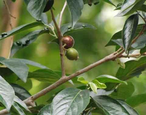 Sage-leaved alangium