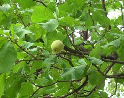 Ceylon Oak