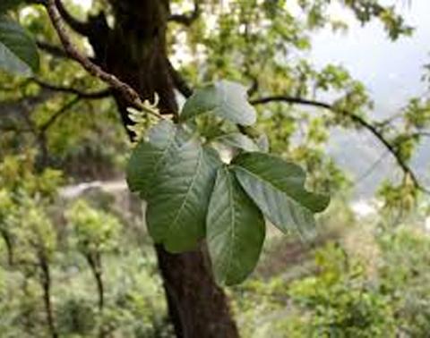 Pines/Dhopi