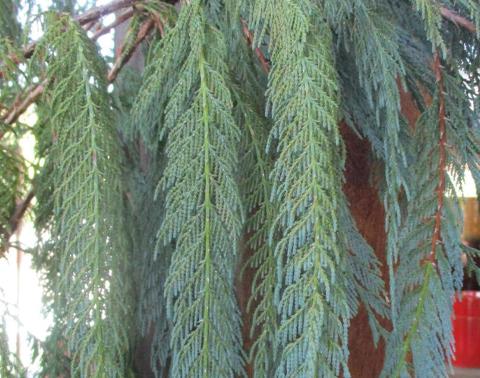Kashmir Cypress